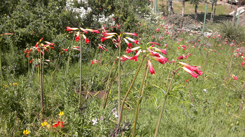 Flores66