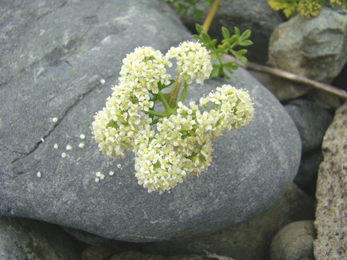 flores28
