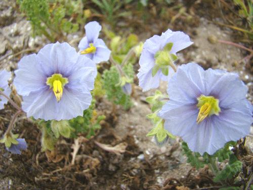 flores35